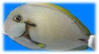 Acanthurus nigricauda - Achselklappen-Doktorfisch