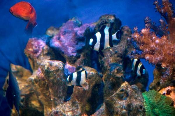 Dascyllus melanurus - Vierbinden-Preußenfisch