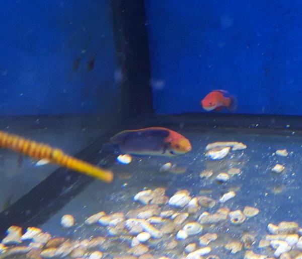 Cirrhilabrus solorensis - Männchen - Rotaugen Zwerglippfisch