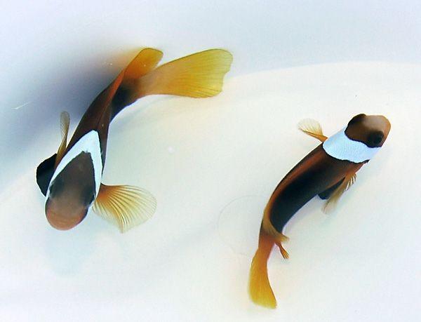 Amphiprion melanopus - Clownfisch