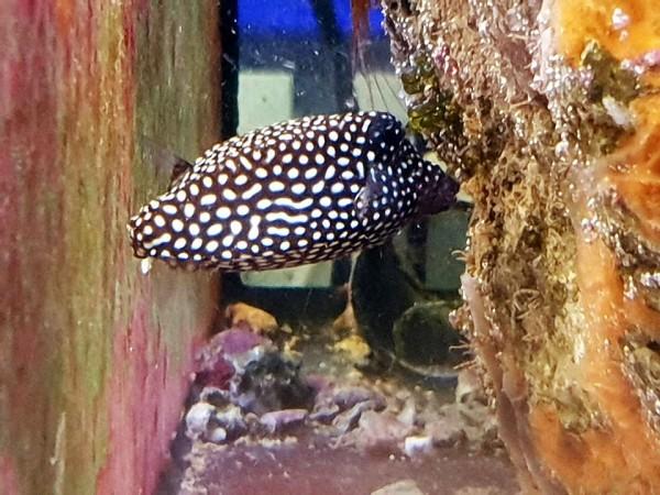 schwarz weiß Ostracion meleagris Weibchen - Weißtüpfel-Kofferfisch