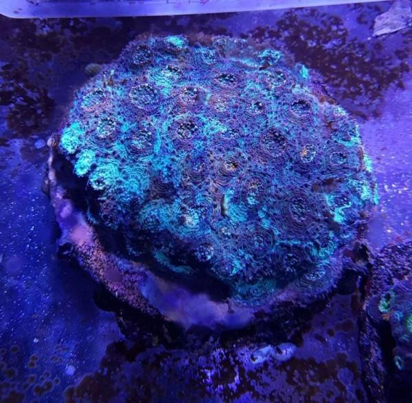 WYSIWYG Acanthastrea echinata - ca 7 cm