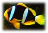 Amphiprion clarkii - Clownfisch