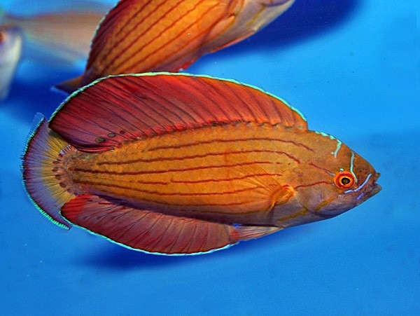 Paracheilinus octotaenia - Rotmeer Zwerglippfisch