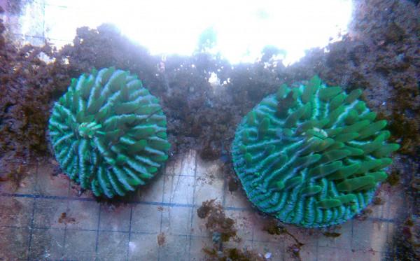 deutsche Nachzucht Fungia, grün Mitte Größe S