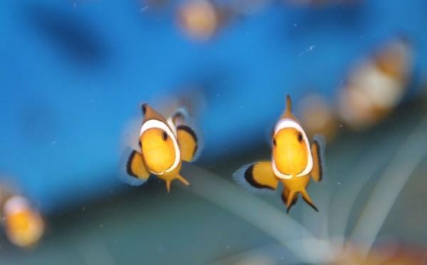 Amphiprion ocellaris - Clownfisch - Nachzucht