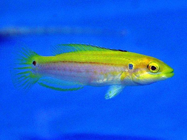 Bodianus bimaculatus gelb gestreifter Junker