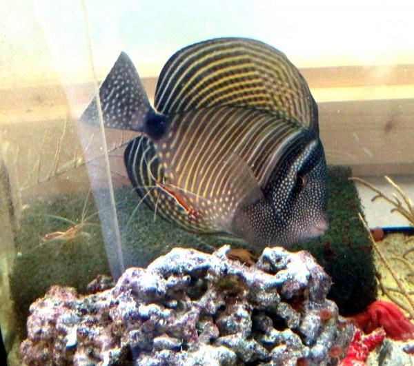 Zebrasoma desjardinii - Indischer Segelflossendoktor