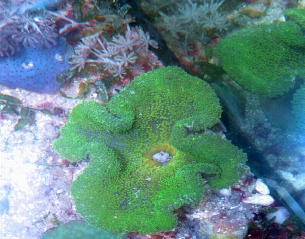 Stichodactyla sp - knallgrüne Teppichanemone Größe SM Beispielbild