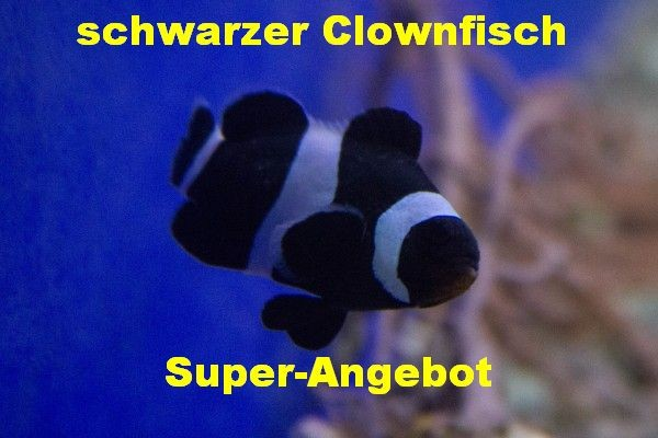 Angebot kuschelnde deutsche Nachzucht Amphiprion ocellaris black - schwarzer Clownfisch