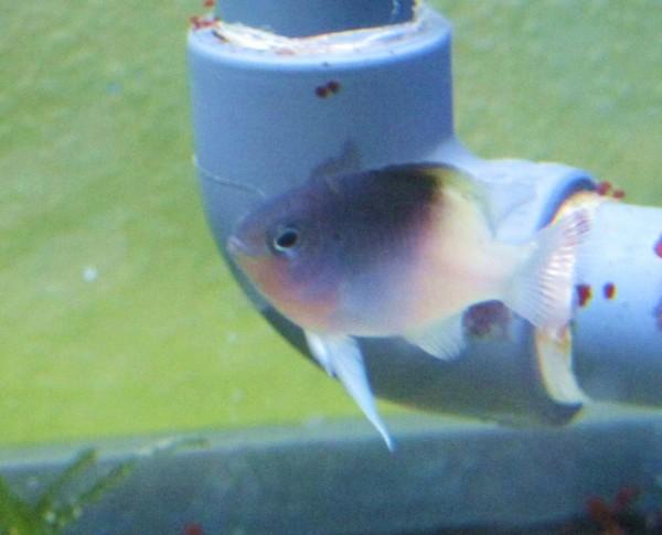 Chrysiptera rollandi - Rollands Riffbarsch - einfache Färbung