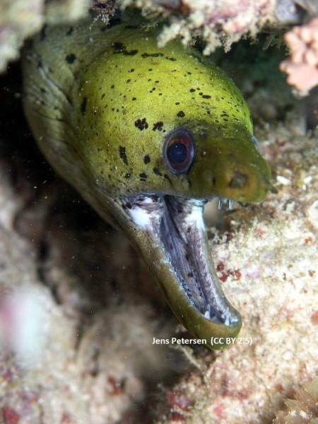 Gymnothorax fimbriatus - gefleckte Gelbkopfmuräne