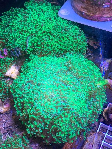Angebot DNZ Euphyllia jetzt Fimbriaphyllia paradivisa grüne Tipps, Preis pro Polyp, WYSIWYG