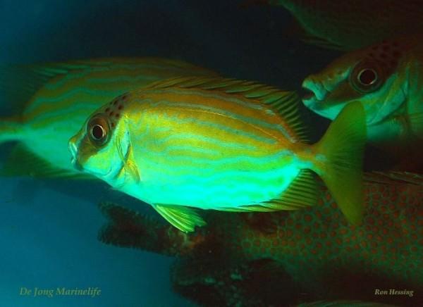 Siganus puellus - Masken Kaninchenfisch