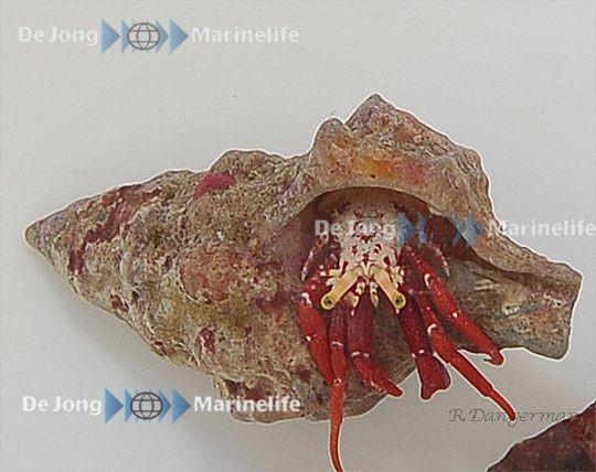 Paguristes cadenati - roter Einsiedler Karibik