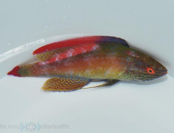 Cirrhilabrus rubrimarginatus - Rotrandzwerglippfisch