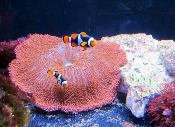 Amphiprion percula black - echter Clownfisch mit viel schwarz