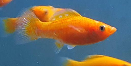 Poecilia latipinna oranger Diamantmolly in Salzwasser gehalten