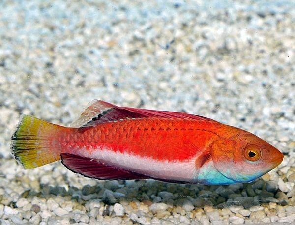 Cirrhilabrus cyanogularis - wunderschöner Blaukehl-Zwerglippfisch