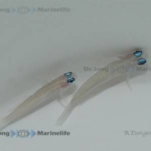 Tryssogobius colini - Blauaugen Zwerg Pfeil Grundel