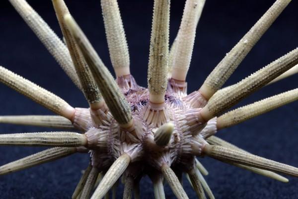 Lanzenseeigel Sp. (Beispielfoto)