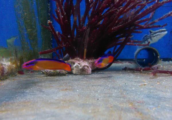Pseudochromis aldabraensis - Aldabra Zwergbarsch aus Nachzucht