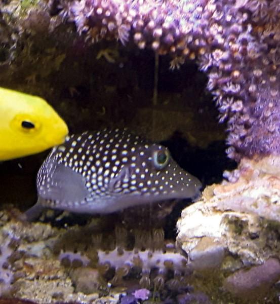 Canthigaster punctatissima - Gepunkteter Spitzkopfkugelfisch