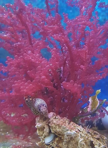 leuchtend rote Blasenrotalge - Botoryocladia sp. - Ableger - circa 8-10 cm