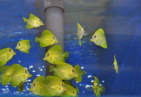 Angebot juvenil tank bred Zebrasoma flavescens - Hawaii Doktor - Gelber Seebader