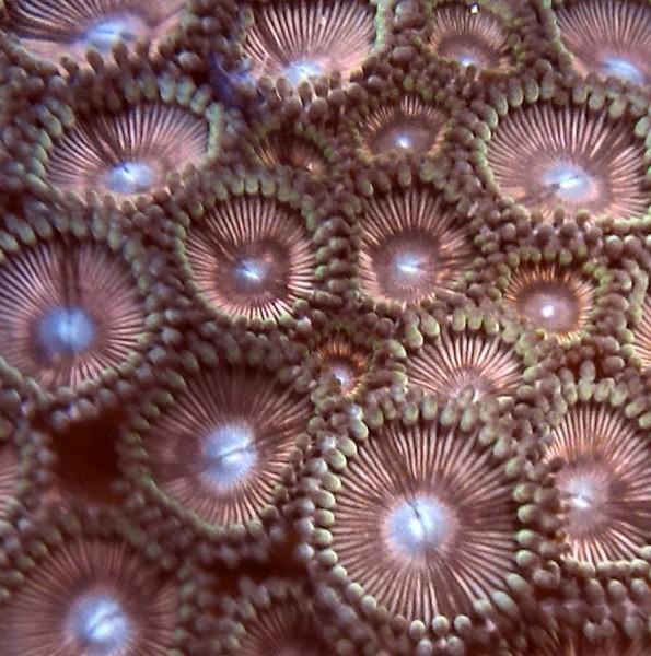 super Krustenanemonen - Ultra Zoanthus sp 06 groß rosa Alien explosion