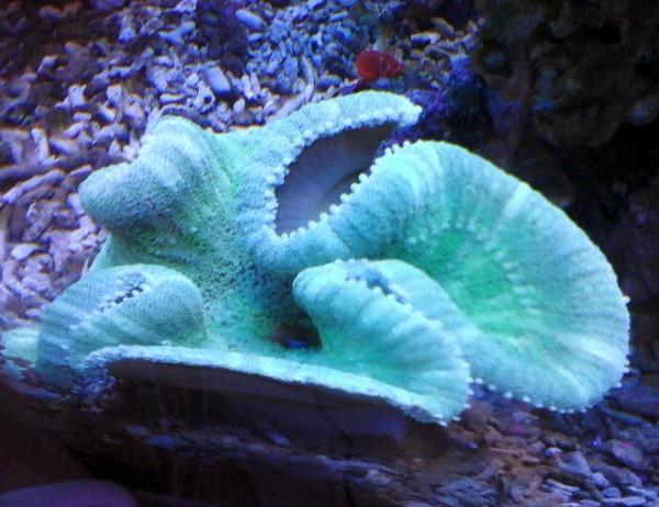 Stichodactyla haddoni - helle, gestreifte Teppichanemone Größe L Beispielbild