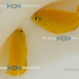 Centropyge heraldi - Zitronen Zwergkaiserfisch