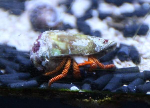 Ciliopagurus strigatus - Ringelsockeneinsiedler