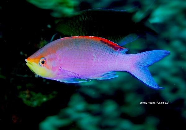 Männchen Pseudanthias - Mirolabrichthys tuka - Fahnenbarsch