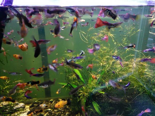 Guppy-Jungfisch bis 1,5 cm Süßwasser eigene Nachzucht