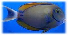 Acanthurus bariene - Augenfleck-Doktorfisch