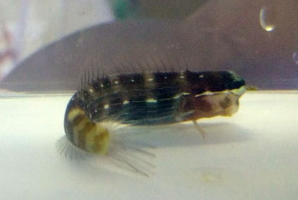 Ecsenius pictus - Nadelstreifen-Kammzähner Schleimfisch