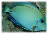 Acanthurus bahianus - Ozean-Doktorfisch