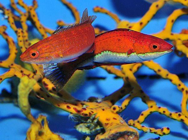 Männchen Cirrhilabrus rubeus - wunderschöner Zwerglippfisch