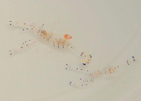 Periclimenes venustus - Partnergarnele - Ancylomenes venustus