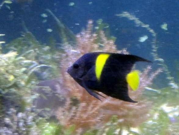 Pomacanthus asfur - Halbmond-Kaiserfisch
