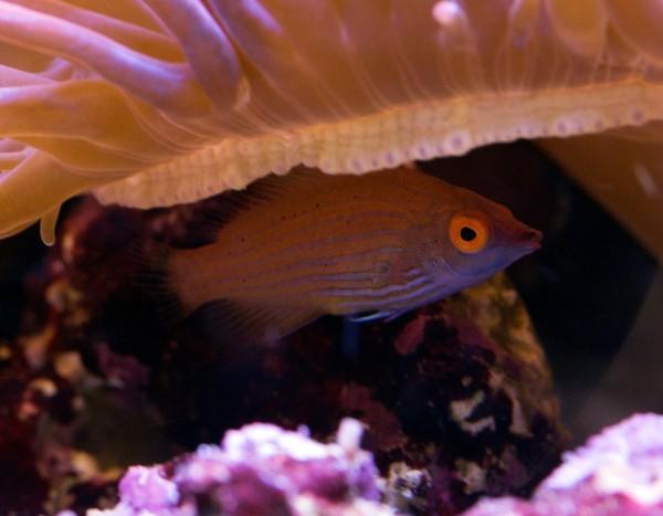 Pseudocheilinops ataenia - Zwerglippfisch