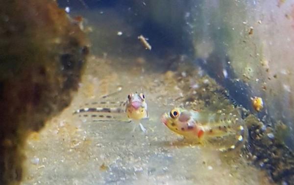 Acanthemblemaria macrospilus - Schleimfisch