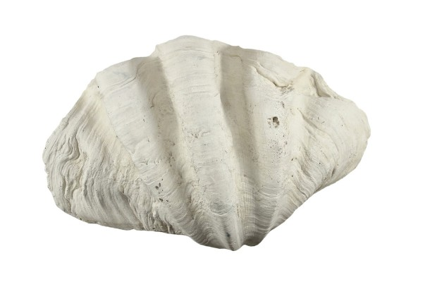 Back to Nature Tridacna Clam L