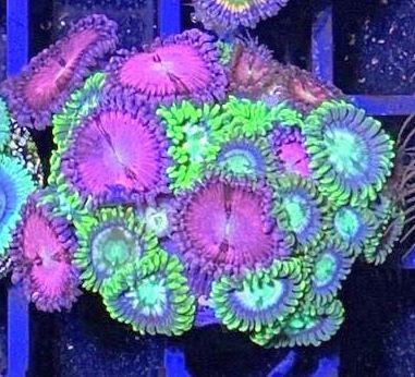 Mixstein super Krustenanemonen - Ultra Zoanthus Beispiel