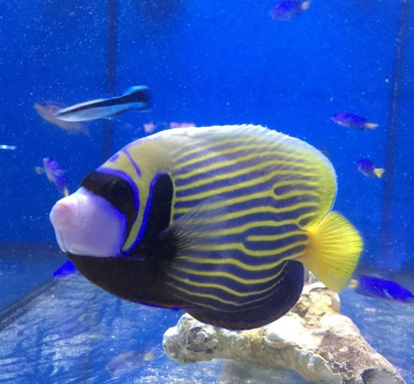 Pomacanthus imperator - Kaiserfisch adulte Färbung