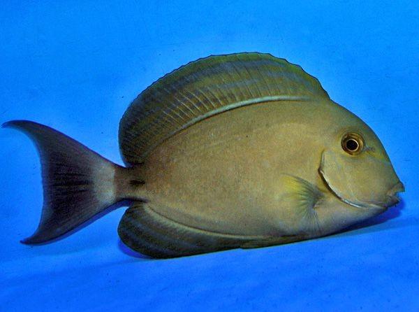 Acanthurus xanthopterus- Gelbmasken-Doktorfisch Größe S oder SM
