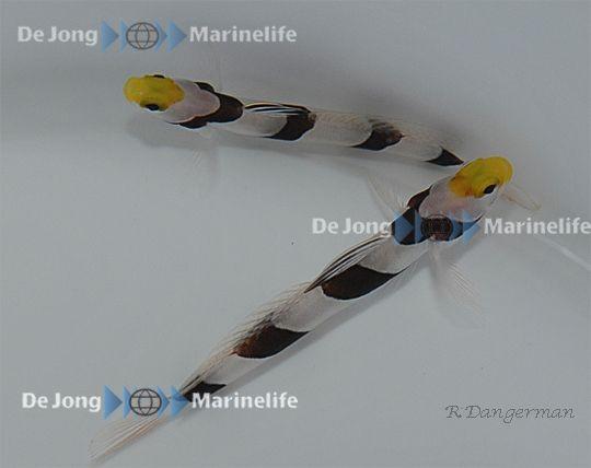 Stonogobiops xanthorhinica - Symbiosegrundel - Gelbschnauzengrundel