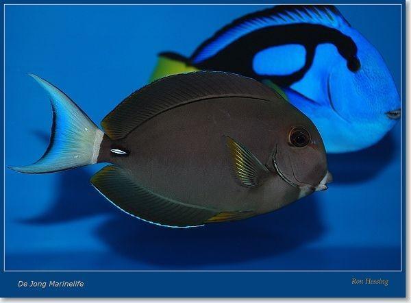 Acanthurus leucocheilus - Weisslippen-Doktorfisch