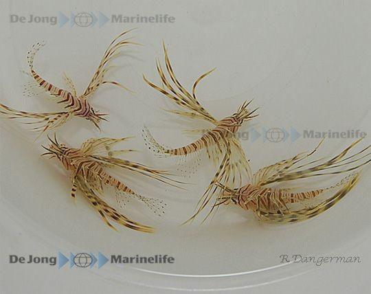 Größe ML Pterois volitans rot rotbraun - Rotfeuerfisch
